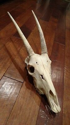 Oryx/gemsbok skull crafts decoration collecting oddity