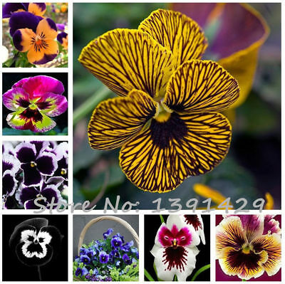 Mexican Pansy Seeds Flower Bonsai Tricolor Wavy Seeds Viola Potted 50pcs/pack