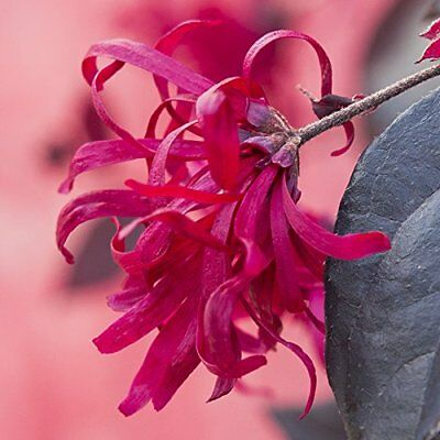 LOROPETALUM  DAYBREAK /'S DAWN PINK FLOWER chinese witch hazel.rare .9cms pot