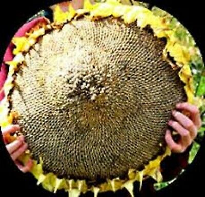 """Sunflower """"Mongolian Giant"""" Largest Sunflower In The World DELICIOUS HUGE SEEDS"""