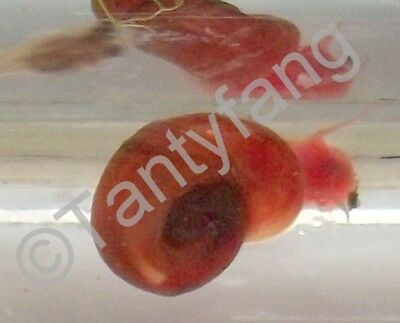 10 Red Ramshorn Snails Great Algae Eaters & Colourful addition to Aquarium