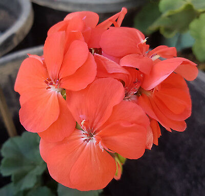 All Seasons Dwarf Zonal Pelargonium x 1 Plant ------------------------- Geranium