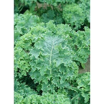 Kale True Siberian Nutrient Rich Superfood 325+ Organic Seeds Heirloom Comb/Ship