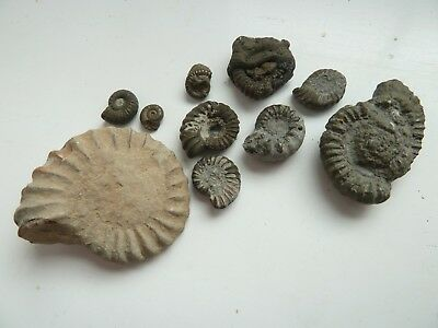 fossil pyrite ammonite collection jurassic Charmouth