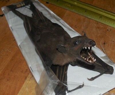 Hang Back Rousettus Leschenaulti Real Hanging Bat Indonesian Taxidermy