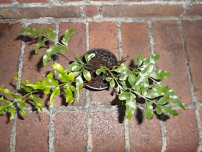 COLLECTOR'S FERN   Scyphularia pentaphylla  Black Caterpillar Fern