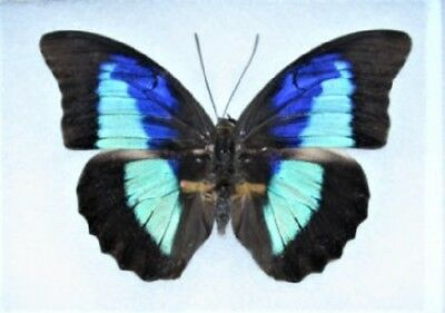 One Real Butterfly Blue Prepona Omphale El Salvador Unmounted Wings Closed