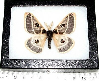 Real Framed Saturn Moth Saturniidae Agapema Homogena Arizona