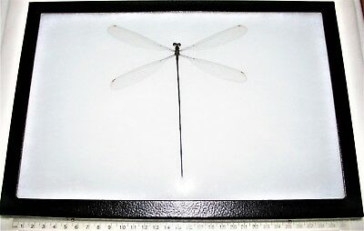 Real Framed Huge Giant Dragonfly Damselfly 12In X 8In Frame! D2