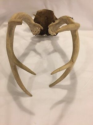 8 Point Deer Antlers Taxidermy Décor Cabin Hunting