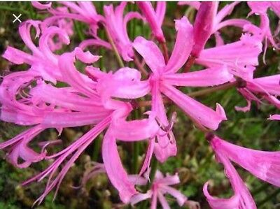 2x Nerine Bulbs - Pink And Red Colours