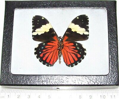 Real Framed Butterfly Red Hamadryas Amphinome Verso Peru