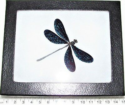 Real Framed Damselfly Dragonfly Blue Sparkly