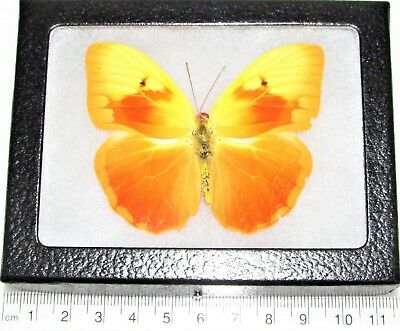 Real Framed Butterfly Phoebis Avallaneda Rare Cuba