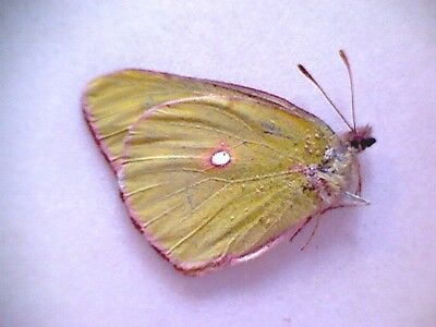 Pieridae Colias fieldi FA- China PIEAA16