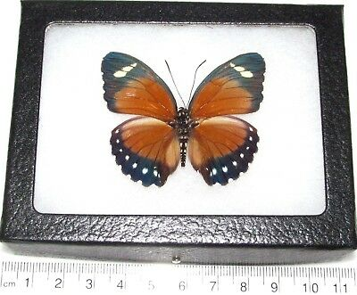 Real Framed Butterfly Red Orange Euphaedra Africa E4