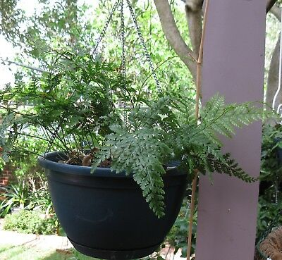HARE'S FOOT FERN in hanging pot Indoor/out door . Ivanhoe, Vic.
