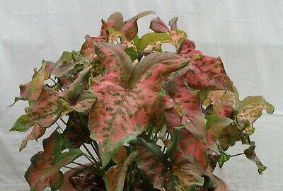 "29: Caladium ""Bangkok Beauty"", Outstanding Squashed, Puckered and Rippled Leaves"
