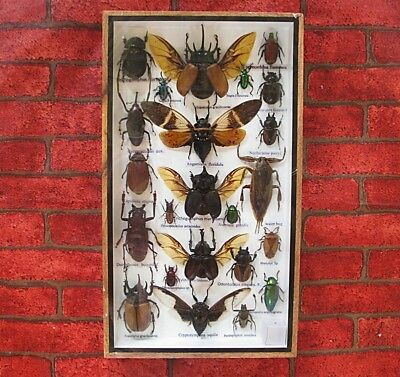 Real Beetles And Mixed Insects Bug Taxidermy In Frame Home Decoration