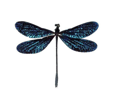 One Real Sparkly Blue Dragonfly Damselfly Unmounted Wings Closed