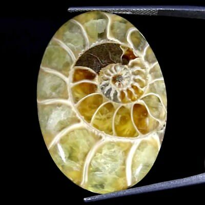 36.90Cts 100% Natural Designer Ammonite Fossil Oval Cabochon Loose Gemstone