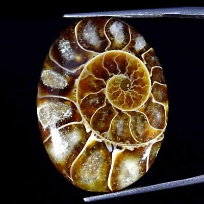 29.30Cts 100% Natural Designer Ammonite Fossil Oval Cabochon Loose Gemstone