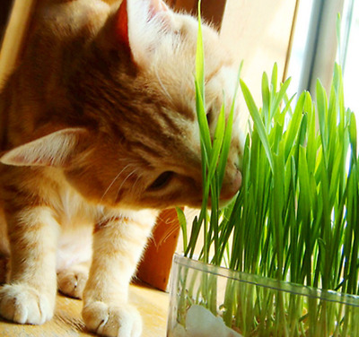 Natural Harvested Cat Grass Seeds Organic Including Growing Guide 30g/pack