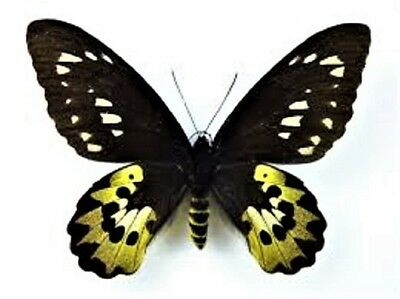 One Real Ornithoptera Rothschildi Female Birdwing Unmounted Wings Closed