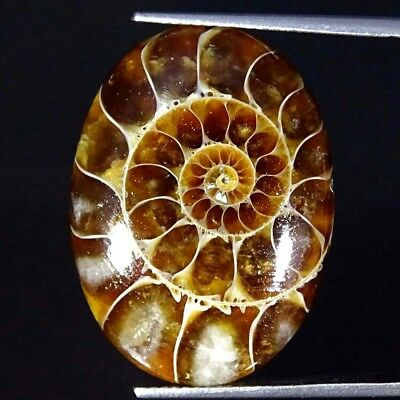 19.30Cts 100% Natural Designer Ammonite Fossil Oval Cabochon Loose Gemstone