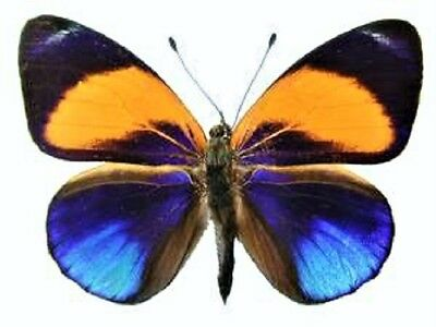 One Real Butterfly Orange Blue Asterope Markii Davisi Unmounted Wings Closed