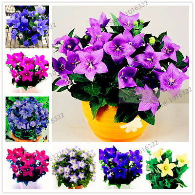 100pcs Campanulaceae seeds,perennial rare bonsai plant flower for home garden