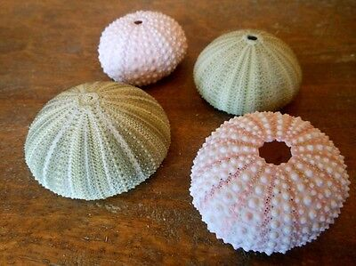 Natural Green and Pink Sea Urchins, Urchins, Seashells, Beach Decor, Natural