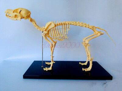 Canine Skull Anatomy Model With Teeth Lfa 2515 22995 Picclick