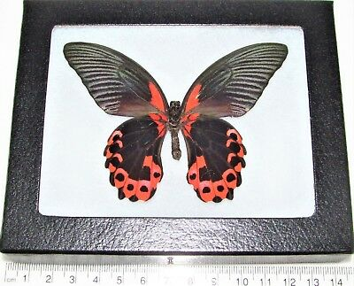 Real Framed Butterfly Red Pink Papilio Rumanzovia Verso Philippines R4