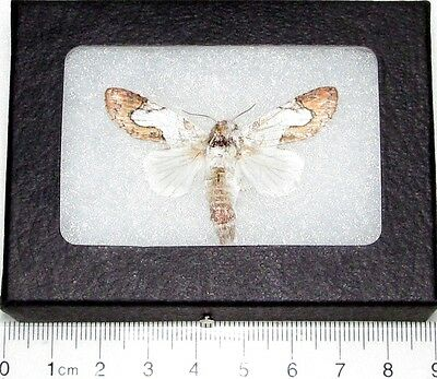 Real Framed Moth Noctuidae Central America