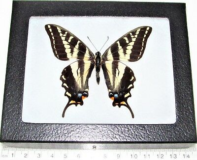 Real Framed Butterfly Papilio Eurymedon Pale Tiger Swallowtail California