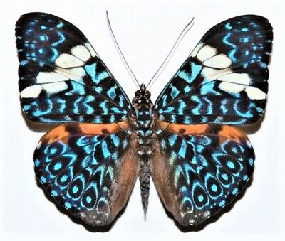 Lot Of 10 - Real Butterfly Blue White Hamadryas Peru Unmounted Wings Closed