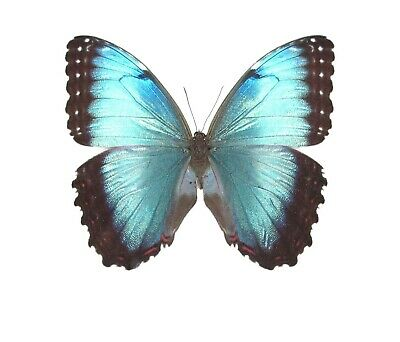 Lot Of 10 - Real Butterfly Blue Black Morpho Peleides Female Wings Closed