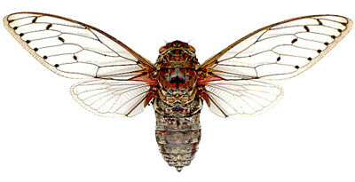 Lot Of 10 - Real Huge Clear Wing Red Cicada Pomponia Intermedia Mounted Packaged