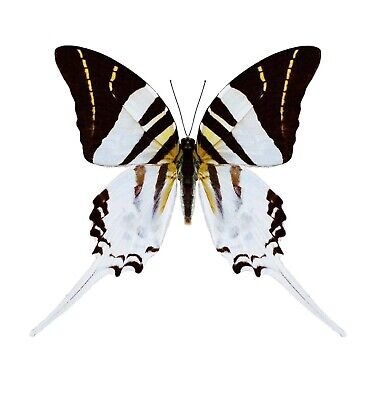 One Real Butterfly Graphium Androcles Sword Tail Swallowtail Wings Closed