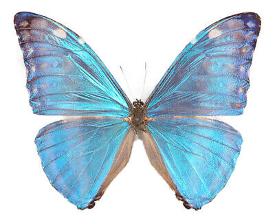 One Real Butterfly Blue Morpho Marcus Adonis Unmounted Wings Closed
