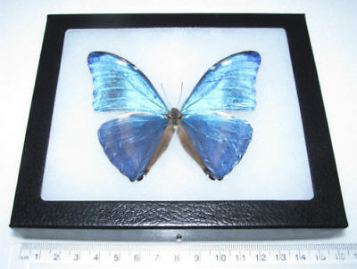 Real Framed Butterfly Blue Morpho Marcus Adonis