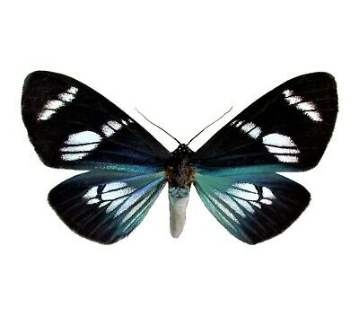 One Real Day Flying Moth Blue Hypocrita Plagifera Unmounted Wings Closed