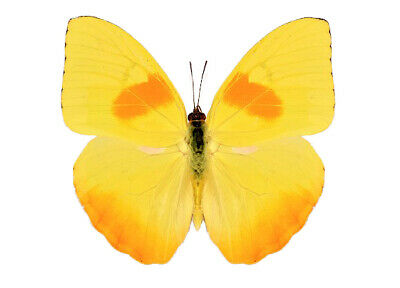One Real Butterfly Yellow Orange Phoebis Philea Peru Unmounted Wings Closed