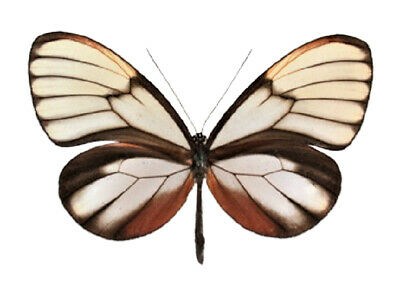One Real Butterfly Godyris Duillia Glass Clear Wing Peru Unmounted Wings Closed