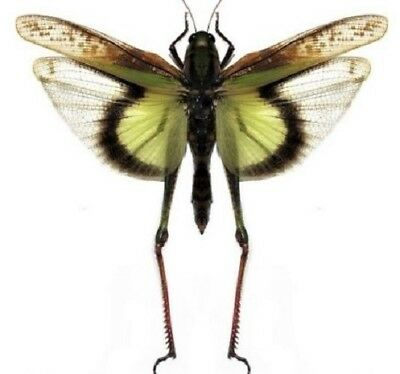 Real Grasshopper Gastrimargus Africans Parvulus Wings Spread Mounted Packaged