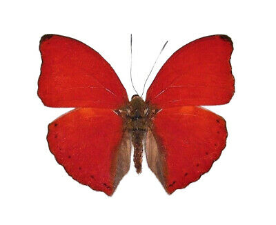 One Real Butterfly Red Glider Cymothoe Sangaris Africa Unmounted Wings Closed