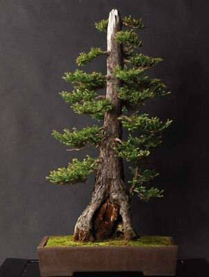 GIANT Sequoia! Sapling. Ideal bonsai starter tree. LARGEST TREE IN THE WORLD!