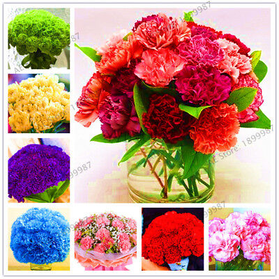 100pcs carnation flower seeds, indoor and outdoor flower Seeds of perennial