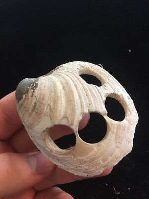"""2 1/2"""" Awesome 1890s Historic Shell Button Bead Blank Lagrange Missouri F16"""